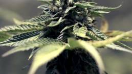 cannabis psychedelics clinical landscape clinical trial drug development